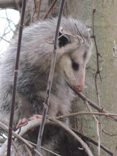 Opossums 002