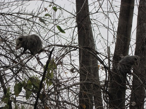 Opossums 004