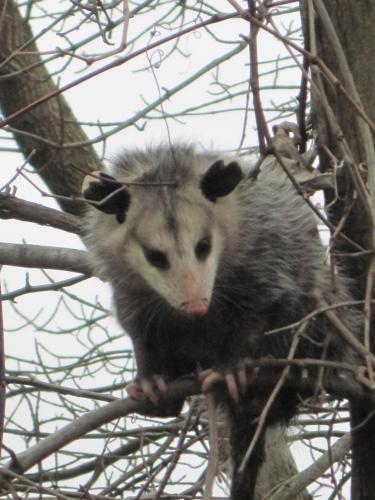 Opossums 006