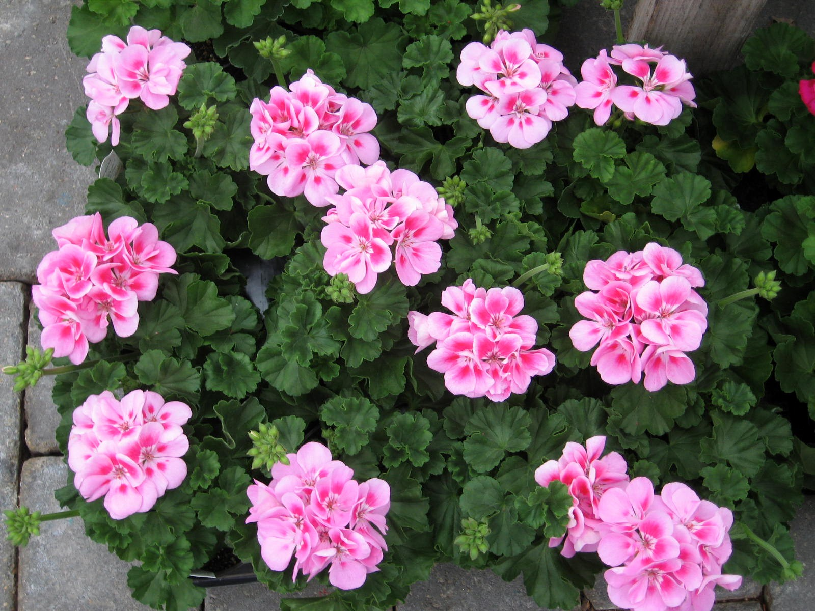 How To Get Your Home Ready For Spring Geraniums Michelle S Musings